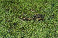 Northern leopard frog (Rana pipiens) in duckweed.