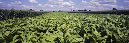 Tobacco Field with Corn Lancaster PA