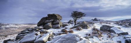Windswept tree in snow covered field Dartmoor Dev