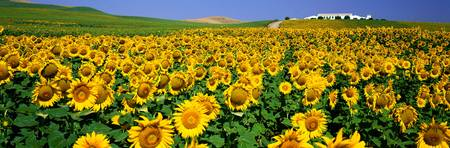 Field of Sunflowers near Cordoba Andalusia Spain