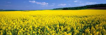 Rapeseed Blossoms near Nancy France