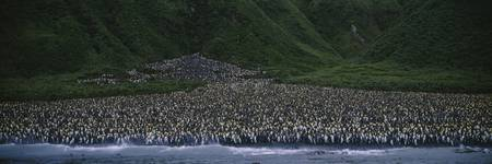 High angle view of a colony of King penguins (Apt