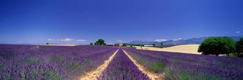 Lavender Field Provence France