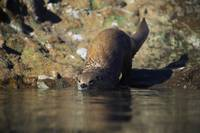 River otter (Lutra canadensis) entering water