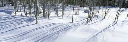 Aspen trees on a snow covered landscape