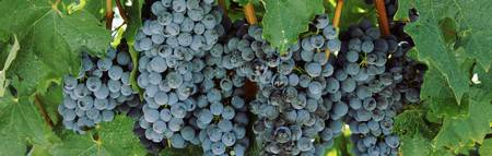 Close up of grapes Napa Napa County California