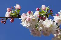 Low angle view of crabapple flowers (Malus sylves
