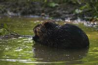 Side view of american beaver (Castor canadensis)
