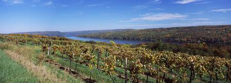 Vineyard at the lakeside