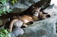 Female cougar lying under rock overhang with cubs