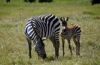 Zebra mare and colt grazing