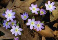Hepatica flowers growing through fallen leaves