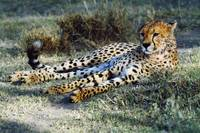 Cheetah lying in grass