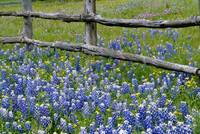 Bluebonnet flowers blooming around weathered wood