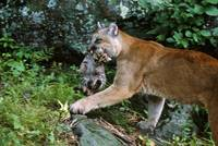 Female cougar carrying cub in mouth