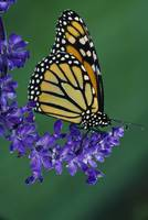 Monarch butterfly on flower blossom