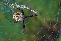 High angle view of argiope spider on web