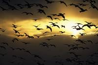 Flock of silhouetted snow geese in flight