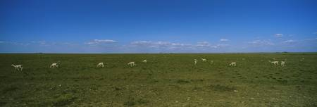 Herd of gazelles grazing in a field