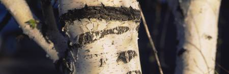 Close-up of the trunk of a birch tree