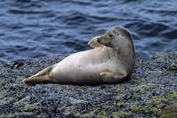 Seal lying on Bass Rock