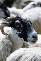 Black-faced sheep