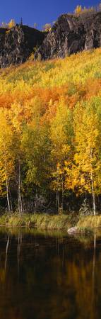 Yellow trees in the forest