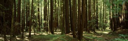 Redwood trees Armstrong Redwoods St Reserve Russi