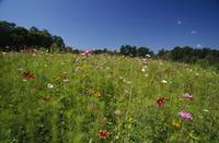 Wide angle view of field of wildflowers blooming