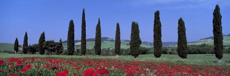 Field of Poppies and Cypresses in a Row Tuscany I