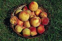 Basket of harvested peaches.
