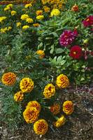 Marigold flowers blooming