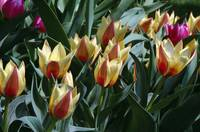 Tulip flowers blooming.