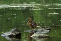 Mallard duck (Anas platyrhynchos) on rock in pond