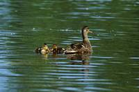Mallard duck (Anas platyrhynchos) swimming with d