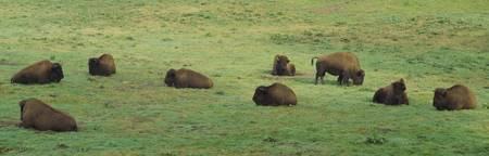 Group of American Bisons grazing in a field