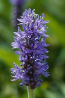 Pickerelweed flowers (Pontederia cordata) bloomin