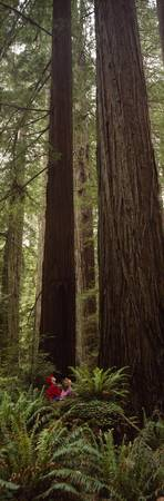 Redwood (Sequoia sempervirens) trees in a forest