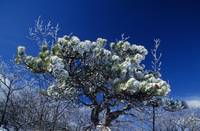Snow on pitch pine (Pinus rigida)