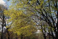 Maple trees budding in spring
