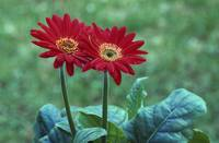 Pair of gerber daisy blossoms