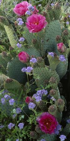 Close-up of Beavertail cactus