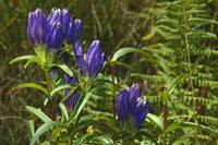 Closed gentian flower blossoms