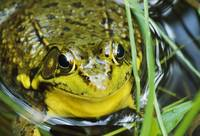 High angle view of green frog (Rana clamitans) in