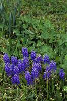 Grape hyacinth flowers blooming in field