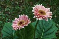 Pair of gerbera daisy flowers blooming