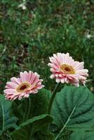 Pair of gerbera daisy flowers blooming.