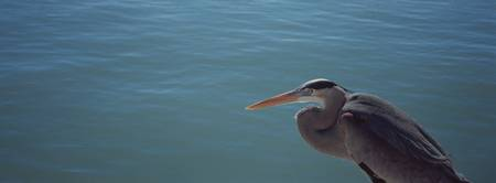 High angle view of a Great blue heron looking ove