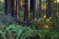 Ferns growing among redwood trees