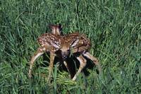 Pair of one-day-old whitetail deer fawns (Odocoil